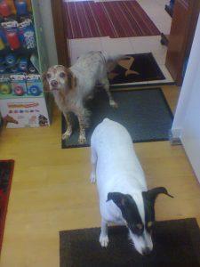 Hunde Bret und Chesai